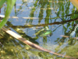 American bullfrog at Neal Smith National Wildlife Refuge