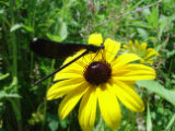 Female ebony jewelwing on flower at Neal Smith National Wildlife Refuge