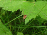 Harvestmen on a leaf at Neil Smith National Wildlife Refuge
