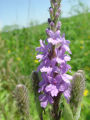 Hoary vervain at Neal Smith National Wildlife Refuge