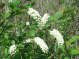 Chokecherry in Neal Smith National Wildlife Refuge