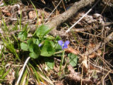 Common blue violet at Neal Smith National Wildlife Refuge