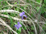Bee on a common blue violet