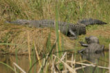 Alligators at Aransas National Wildlife Refuge