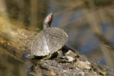 Turtle on log at Aransas National Wildlife Refuge
