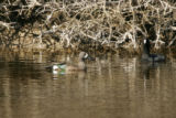 Blue-winged Teal with an American Coot