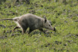 Opossum out for daily walk