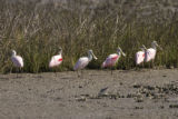 Roseate Spoonbills gathering at banks edge