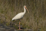 White Ibis standing alone at Aransas National Wildlife Refuge