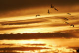 Birds in flight in sunset