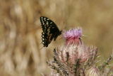 Swallowtail butterfly resting on a thistle