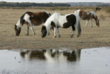Herd of Chincoteague ponies