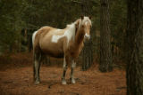 Chincoteague Pony in a wooded area