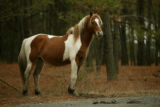 Chincoteague Pony in a wooded area of the refuge