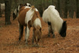 Chincoteague Ponies grazing at the refuge