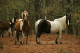 Herd of ponies at Chincoteague National Wildlife Refuge