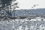 Snow Geese arrive at Chincoteague National Wildlife Refuge