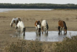 Wild horses in their natural habitat