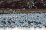 Flock of Snow Geese and various shorebirds at Bosque del Apache National Wildlife Refuge