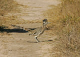 Greater Roadrunner looking for dinner