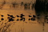 Flock of shorebirds at sunset