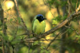 Green jay sitting on a branch