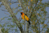 Bullocks Oriole sitting on a branch