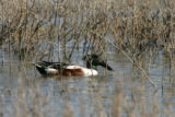 Northern Shoveler enjoying the water