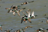Flock of Northern Shoveler