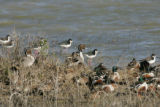 Flock of waterfowl and wading birds
