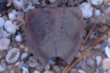 Horseshoe crab shell at Oyster Bay National Wildlife Refuge
