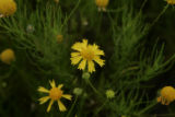 Beautiful hawkweed with tiny drops of water on the petals