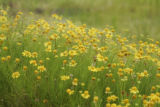 Field of wildflowers at Pocosin Lakes National Wildlife Refuge