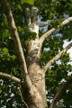 Bark on a Sycamore tree