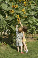 Reaching for a sunflower