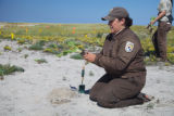 Staff with seaside goldenrod at Monomoy NWR