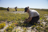 Planting Seaside Goldenrod at Monomoy NWR