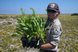 Staff holding Seaside Goldenrod at Monomoy NWR