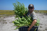 Staff carrying Seaside Goldenrod at  Monomoy NWR