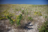 Newly planted Seaside Goldenrod at Monomoy NWR
