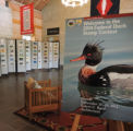Federal Duck Stamp Art Contest