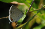 Eastern Tailed-Blue butterfly 2