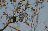 NCTC Eagle perched on a branch