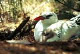 Red-billed tropicbird and chick