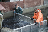 Service employees crowding Fall Chinook salmon