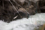 Salmon escapes traditional dip nets