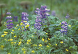 Lupine and buttercups