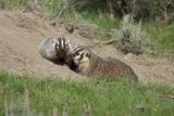 American badger mother with kit