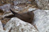 Brown Noddy on Nihoa Island