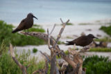 Brown Noddy on Laysan Island